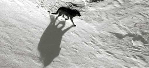 wolfshadow.jpg
