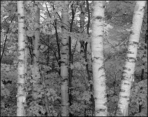 white-birches-horiz-1-2.jpg
