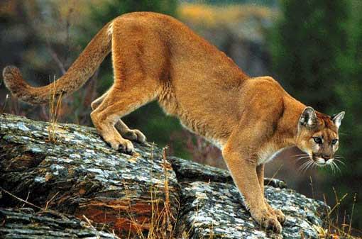 cougar4.jpg