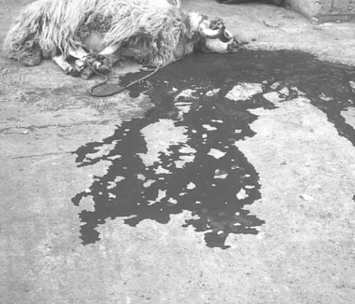 slaughtered-lamb.jpg