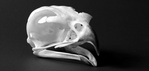 hawkskull.jpg